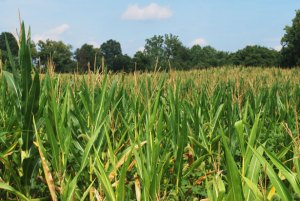 cornfield photo by Peter Griffin