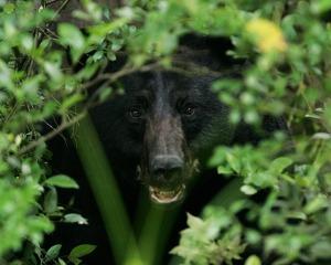 Hidden Bear